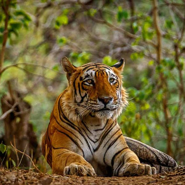 Tiger's habitat 2 web